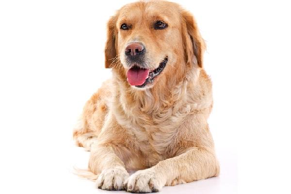 עיקור כלבה
